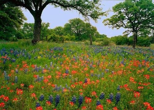8556-texas-wildflowers-tree-fence
